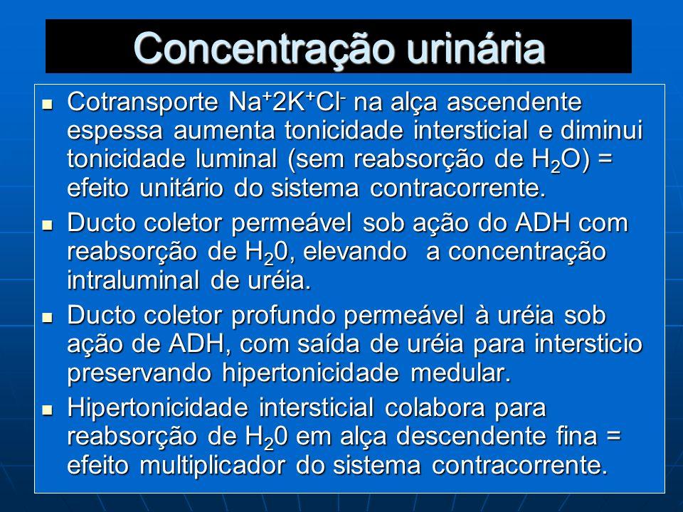 Concentração urinária Cotransporte Na + 2K + Cl - na alça ascendente espessa aumenta tonicidade intersticial e diminui tonicidade luminal (sem reabsor