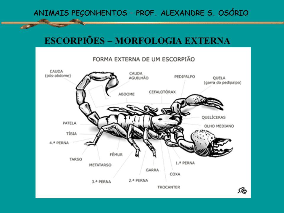 ANIMAIS PEÇONHENTOS – PROF. ALEXANDRE S. OSÓRIO ESCORPIÕES - São animais carnívoros de hábitos noturnos. - Vivem sob pedras, troncos poderes, em solo