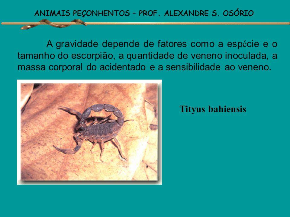 ANIMAIS PEÇONHENTOS – PROF. ALEXANDRE S. OSÓRIO Os acidentes por Tityus serrulatos são os mais graves, principalmente em crianças e idosos. A dor loca