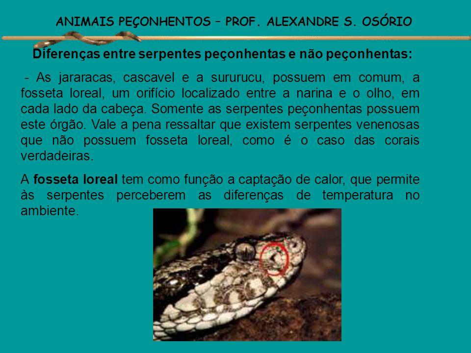 ANIMAIS PEÇONHENTOS – PROF. ALEXANDRE S. OSÓRIO SERPENTES CARACTERÍSTICAS Corpo alongado coberto por escamas. Ausência de membros locomotores. Ausênci