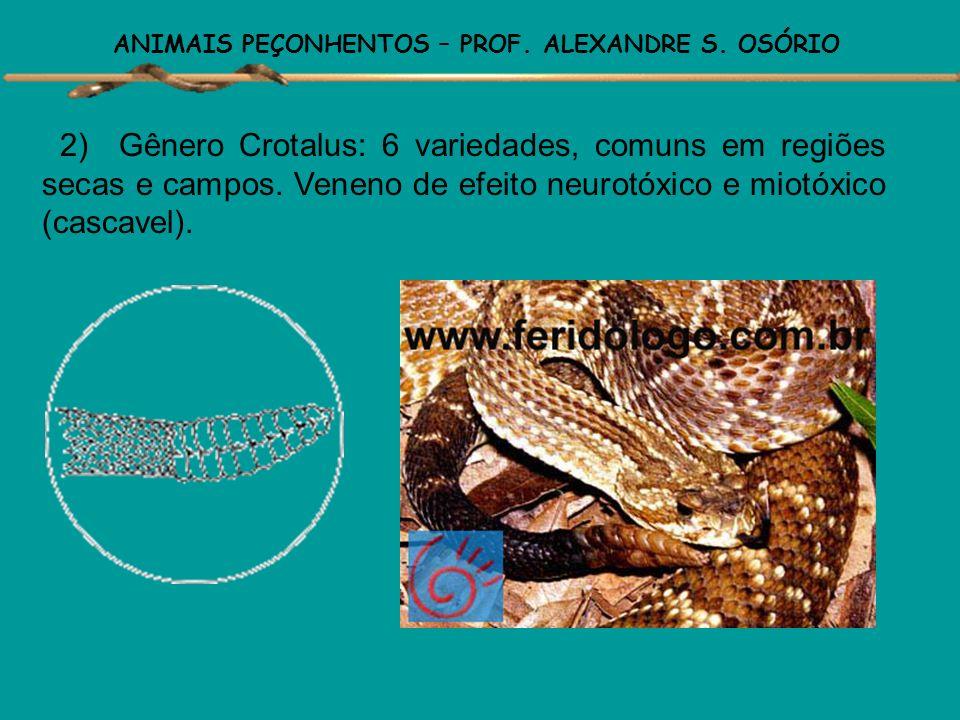 ANIMAIS PEÇONHENTOS – PROF. ALEXANDRE S. OSÓRIO No Brasil são conhecidas aproximadamente 300 espécies e subespécies de serpentes, das quais 70 varieda