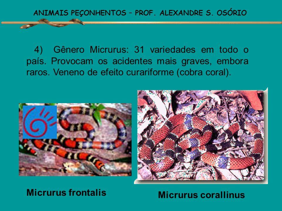 ANIMAIS PEÇONHENTOS – PROF. ALEXANDRE S. OSÓRIO 3) Gênero Lachesis: 2 variedades, existentes na Mata Atlântica e na Floresta Amazônica (surucucu). São
