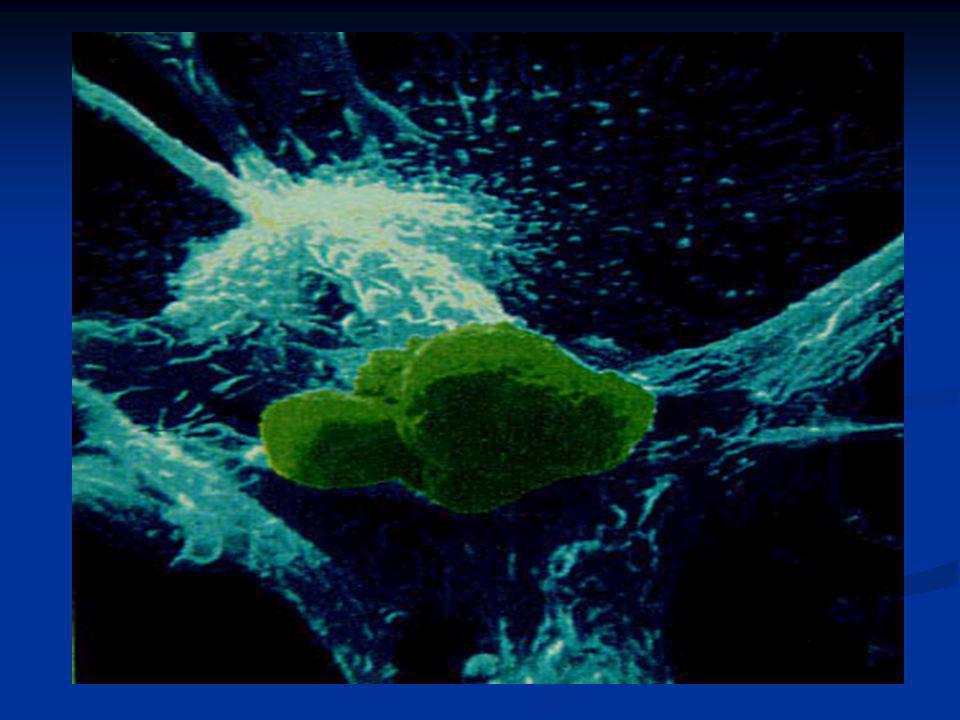 O vírus adere a superfície da célula, até que a membrana protéica se rompa e o seu conteúdo penetre no linfócito. O vírus adere a superfície da célula
