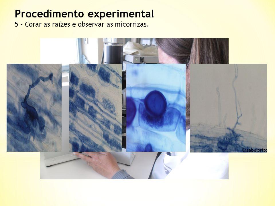 Procedimento experimental 5 – Corar as raízes e observar as micorrizas. © isabelbrito