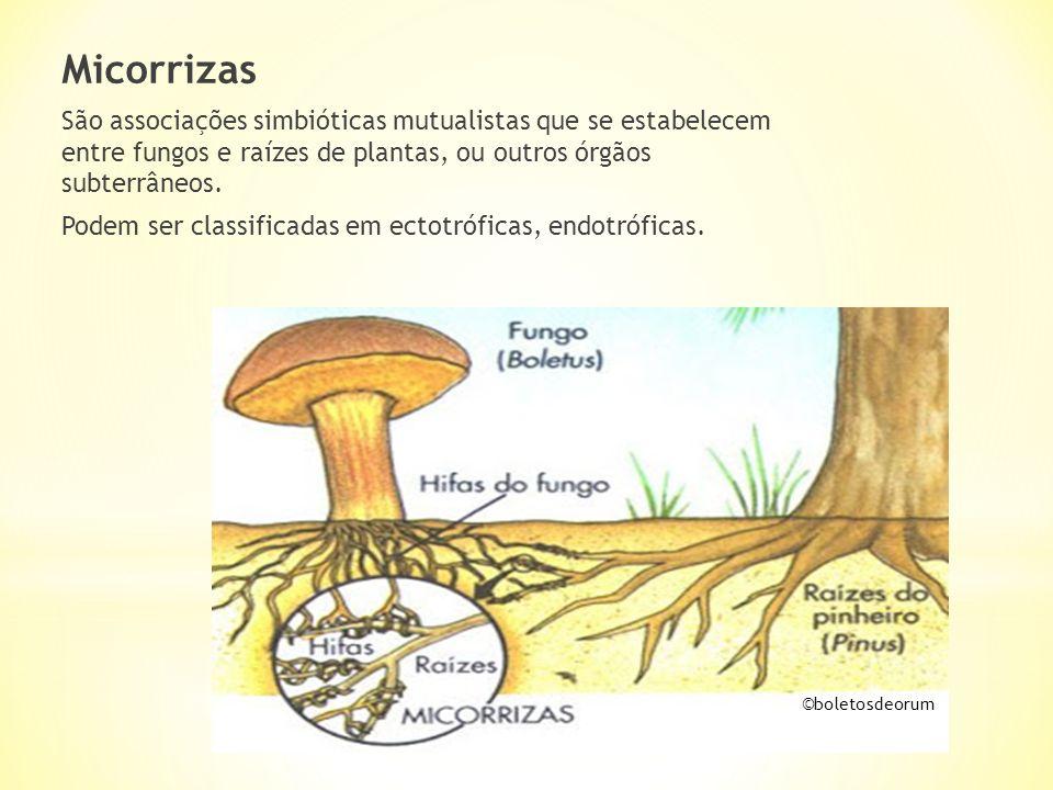 Micorrizas São associações simbióticas mutualistas que se estabelecem entre fungos e raízes de plantas, ou outros órgãos subterrâneos. Podem ser class