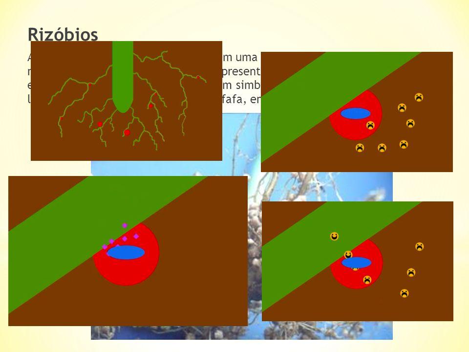 Rizóbios As bactérias do género Rhizobium têm uma importante função no ciclo do azoto, converter o azoto presente na atmosfera essas bactérias só pode