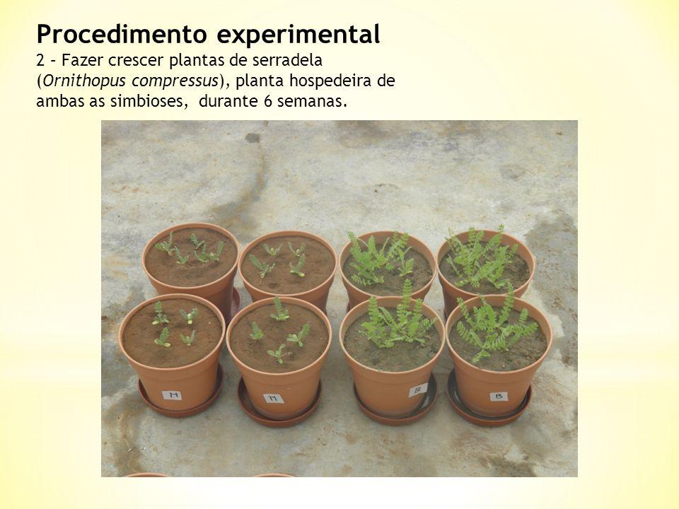 Procedimento experimental 2 – Fazer crescer plantas de serradela (Ornithopus compressus), planta hospedeira de ambas as simbioses, durante 6 semanas.