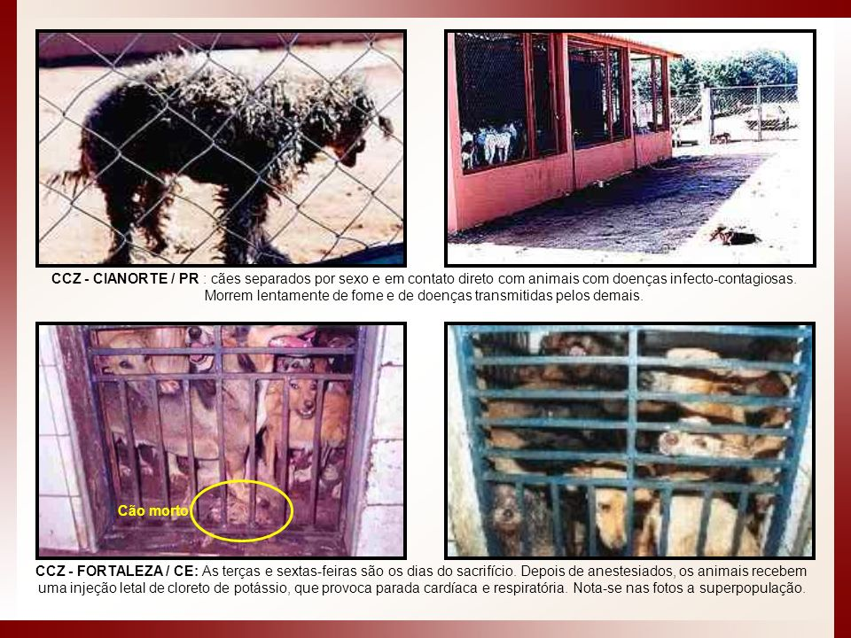 CCZ - CIANORTE / PR : cães separados por sexo e em contato direto com animais com doenças infecto-contagiosas. Morrem lentamente de fome e de doenças