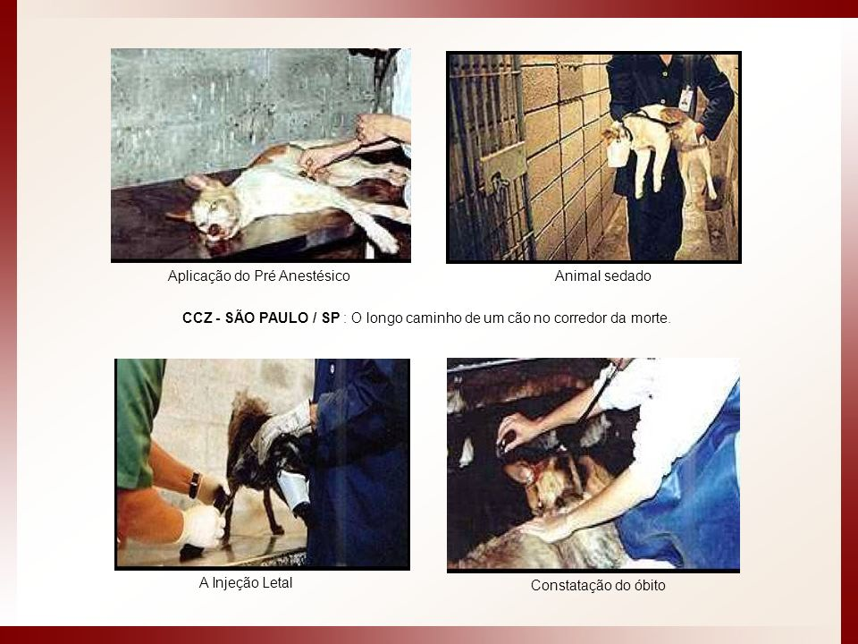 CCZ - SÃO PAULO / SP : O longo caminho de um cão no corredor da morte. Animal sedado Constatação do óbito A Injeção Letal Aplicação do Pré Anestésico