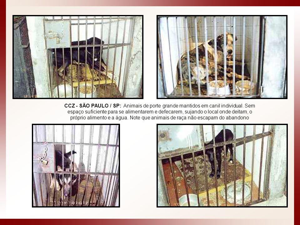 CCZ - SÃO PAULO / SP: Animais de porte grande mantidos em canil individual. Sem espaço suficiente para se alimentarem e defecarem, sujando o local ond