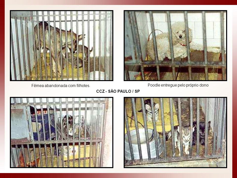 Fêmea abandonada com filhotes. Poodle entregue pelo próprio dono CCZ - SÃO PAULO / SP