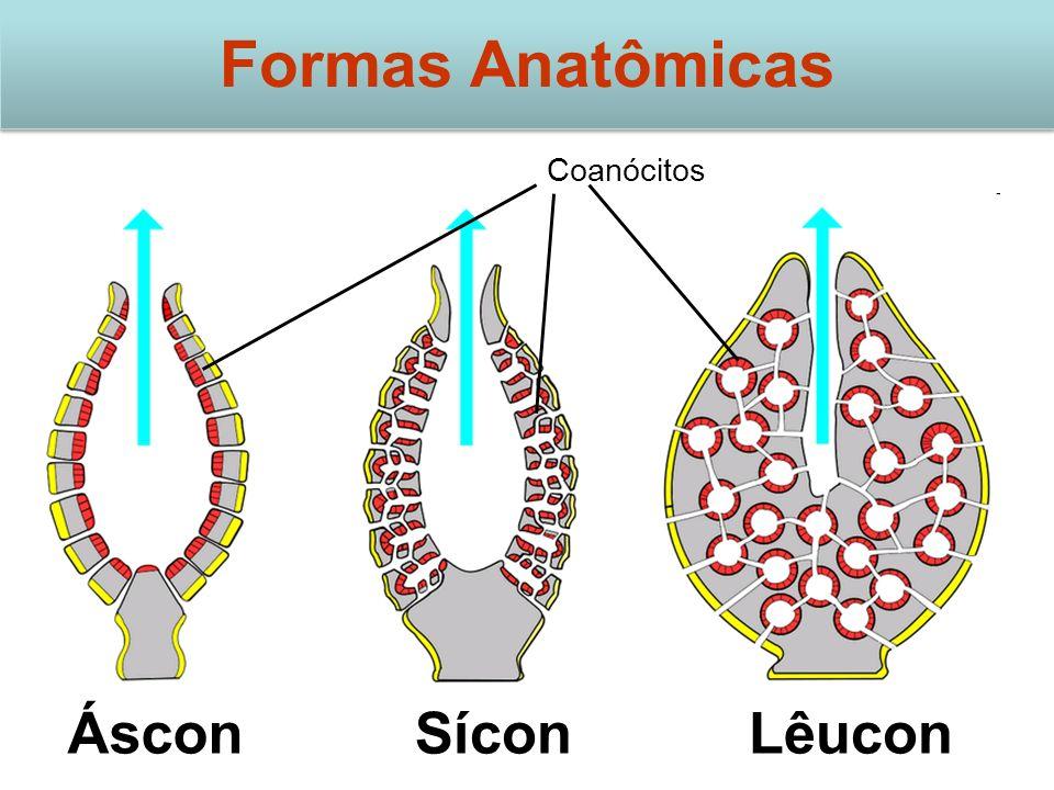 Coanócitos ÁsconSíconLêucon Formas Anatômicas