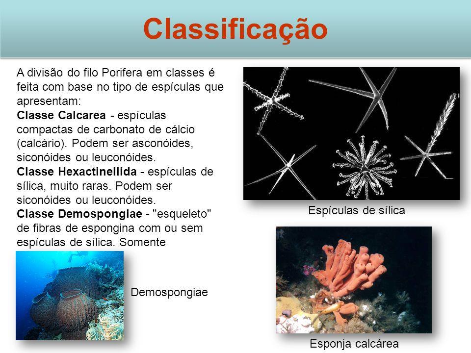 Classificação A divisão do filo Porifera em classes é feita com base no tipo de espículas que apresentam: Classe Calcarea - espículas compactas de carbonato de cálcio (calcário).