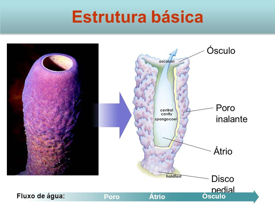 Ósculo Átrio Poro inalante Disco pedial Estrutura básica Fluxo de água: PoroÁtrio Ósculo