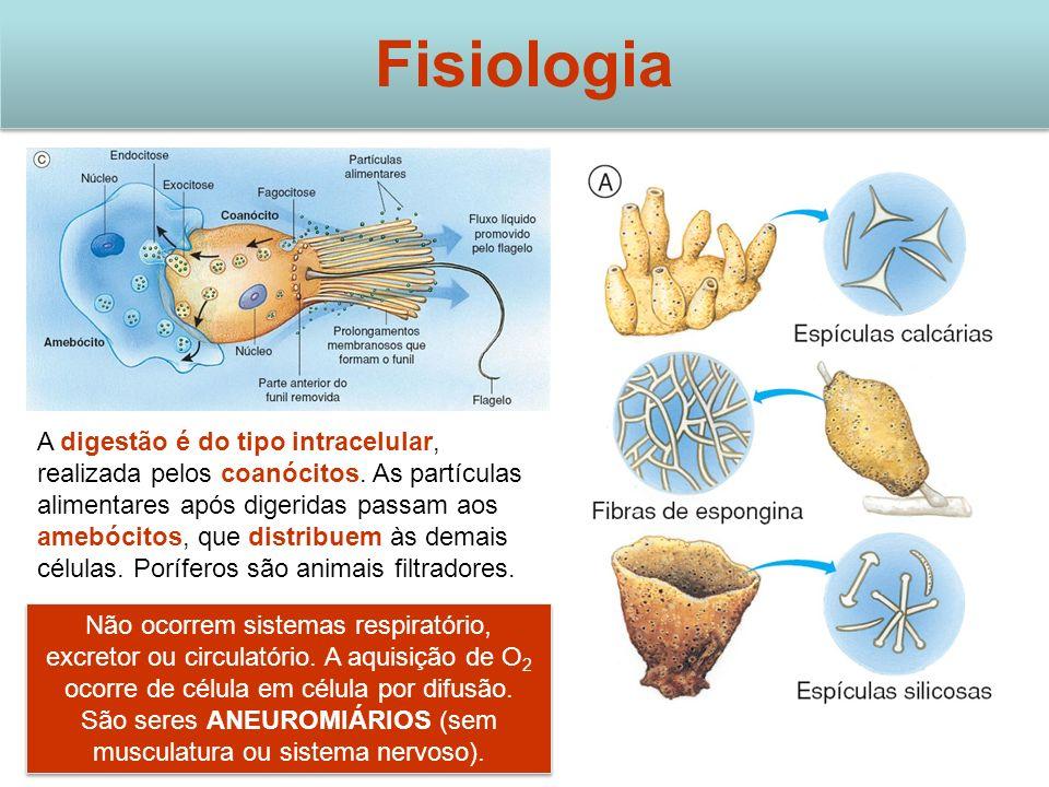 Fisiologia A digestão é do tipo intracelular, realizada pelos coanócitos. As partículas alimentares após digeridas passam aos amebócitos, que distribu