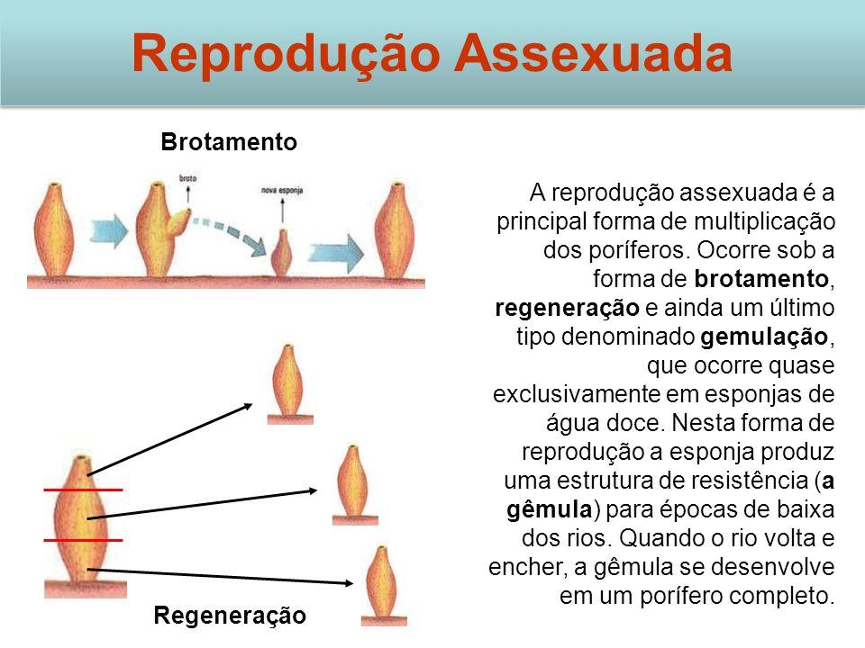 Brotamento Regeneração Reprodução Assexuada A reprodução assexuada é a principal forma de multiplicação dos poríferos. Ocorre sob a forma de brotament