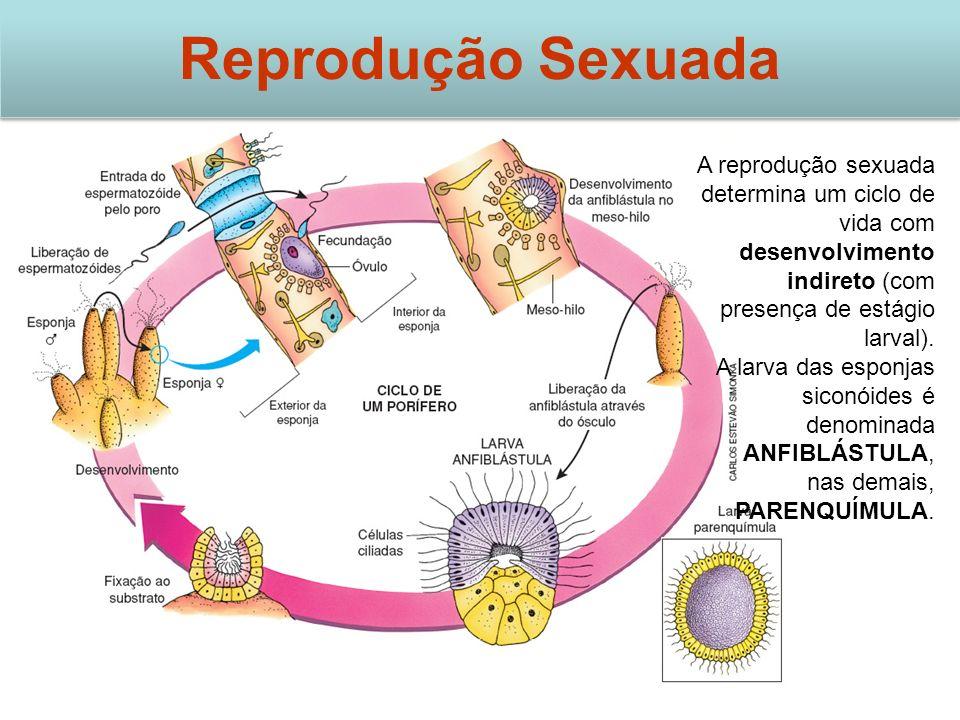 Reprodução Sexuada A reprodução sexuada determina um ciclo de vida com desenvolvimento indireto (com presença de estágio larval). A larva das esponjas