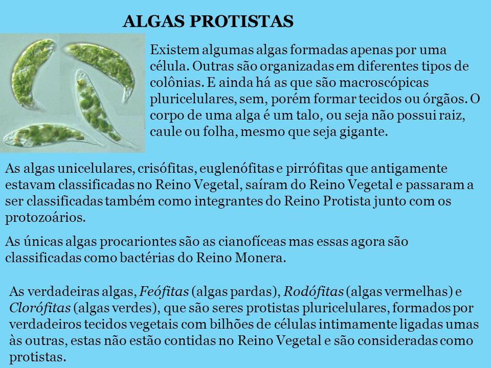 ALGAS PROTISTAS Existem algumas algas formadas apenas por uma célula. Outras são organizadas em diferentes tipos de colônias. E ainda há as que são ma