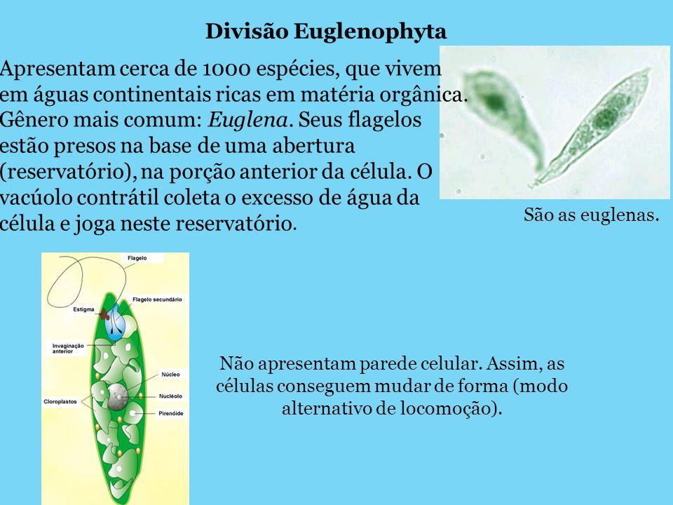 Divisão Euglenophyta São as euglenas. Apresentam cerca de 1000 espécies, que vivem em águas continentais ricas em matéria orgânica. Gênero mais comum: