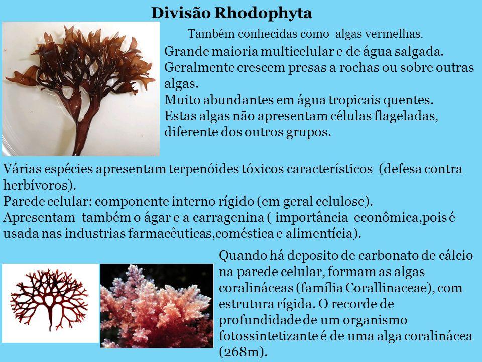 Divisão Rhodophyta Também conhecidas como algas vermelhas. Grande maioria multicelular e de água salgada. Geralmente crescem presas a rochas ou sobre