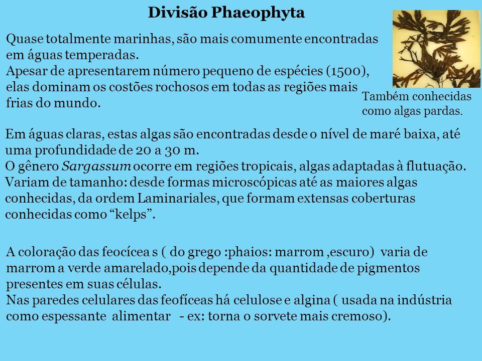 Divisão Phaeophyta Também conhecidas como algas pardas. Quase totalmente marinhas, são mais comumente encontradas em águas temperadas. Apesar de apres