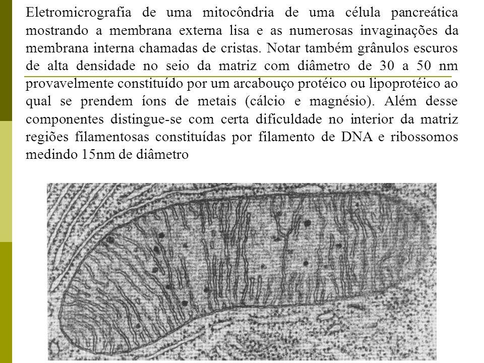 Eletromicrografia de uma mitocôndria de uma célula pancreática mostrando a membrana externa lisa e as numerosas invaginações da membrana interna chama