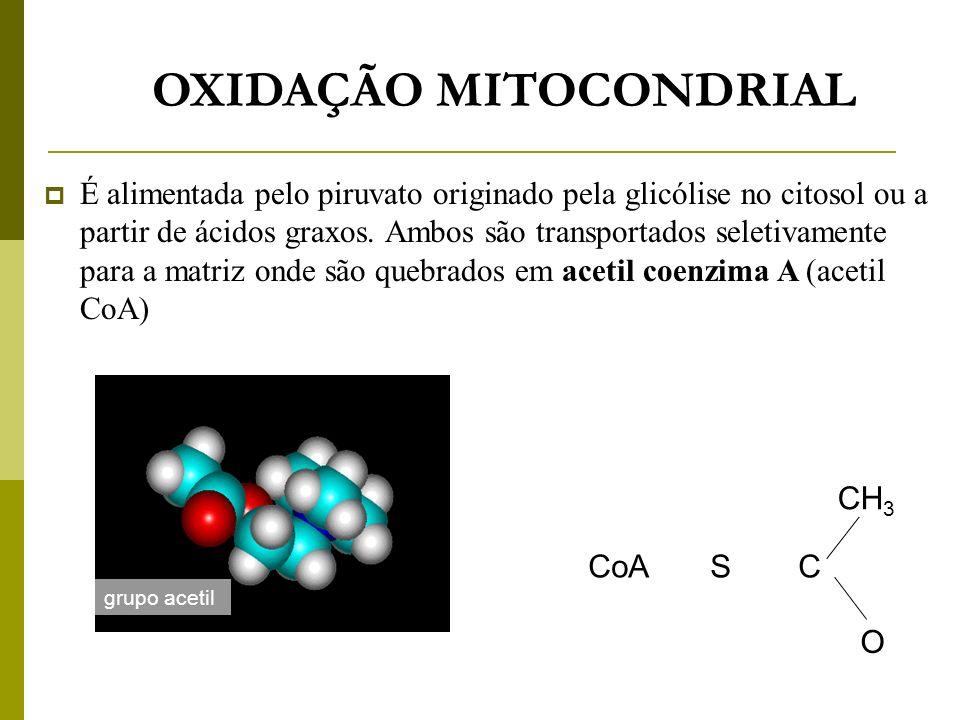 OXIDAÇÃO MITOCONDRIAL É alimentada pelo piruvato originado pela glicólise no citosol ou a partir de ácidos graxos. Ambos são transportados seletivamen