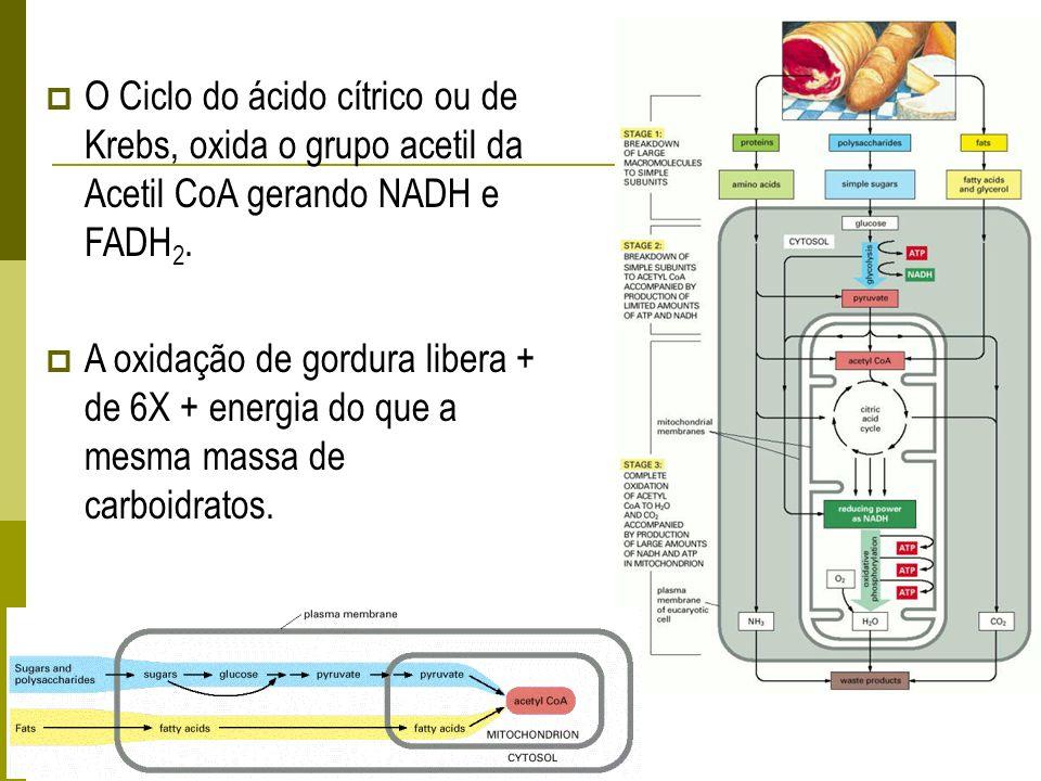 O Ciclo do ácido cítrico ou de Krebs, oxida o grupo acetil da Acetil CoA gerando NADH e FADH 2. A oxidação de gordura libera + de 6X + energia do que