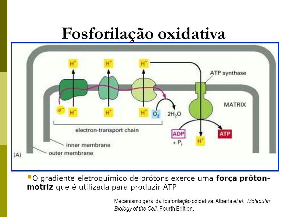Mecanismo geral da fosforilação oxidativa. Alberts et al., Molecular Biology of the Cell, Fourth Edition. Fosforilação oxidativa O gradiente eletroquí