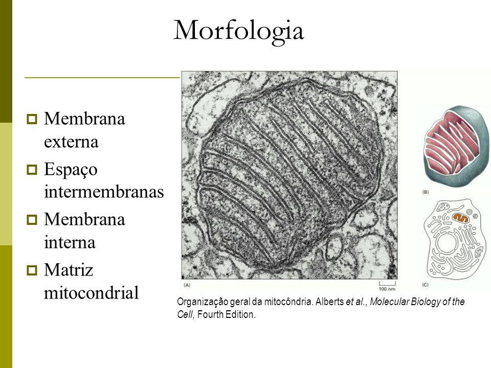 Composição Membrana externa e membrana interna: 2 compartimentos: matriz mitocondrial – líquido denso - e espaço intermembranas; Membrana externa (porinas); permeável a moléculas de até 5.000 daltons; Espaço intermembrânico - enzimas que usam o ATP para fosforilar outros nucleotídeos; Membrana interna - ácido graxo cardiolipina e componentes da cadeia respiratória; forma as chamadas cristas mitocondriais; ATP- sintase e Bomba de prótons; Matriz - centenas de enzimas, DNA, ribossomos, tRNAs; Quanto maior atividade metabólica da célula, maior será quantidade de mitocôndrias em seu interior.