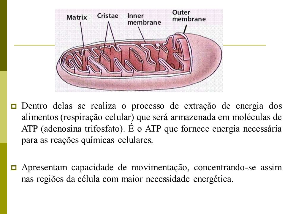Dentro delas se realiza o processo de extração de energia dos alimentos (respiração celular) que será armazenada em moléculas de ATP (adenosina trifos
