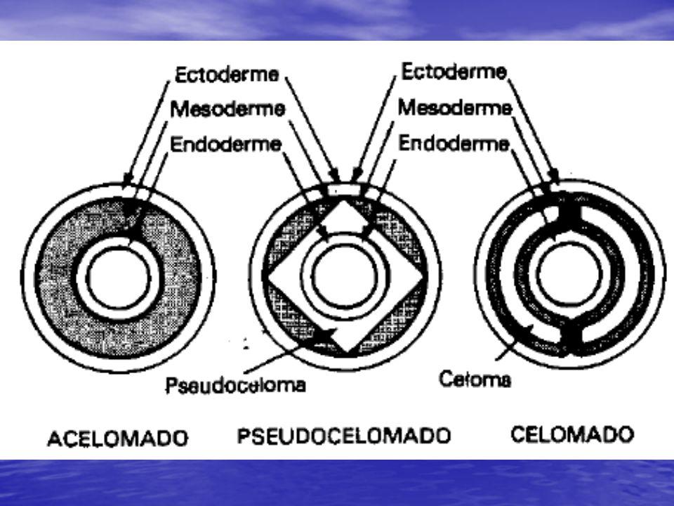 Esquizoceloma: O mesoderme origina-se a partir de células situadas ao redor da estrutura que dará origem ao tubo digestivo do adulto; são formadas várias células que depois se organizam formando uma membrana que delimita o celoma.
