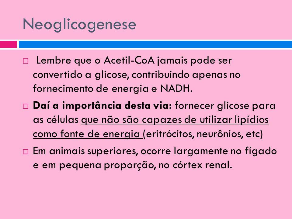 Neoglicogenese Lembre que o Acetil-CoA jamais pode ser convertido a glicose, contribuindo apenas no fornecimento de energia e NADH. Daí a importância