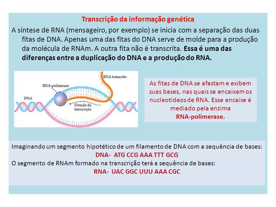 Transcrição da informação genética A síntese de RNA (mensageiro, por exemplo) se inicia com a separação das duas fitas de DNA.