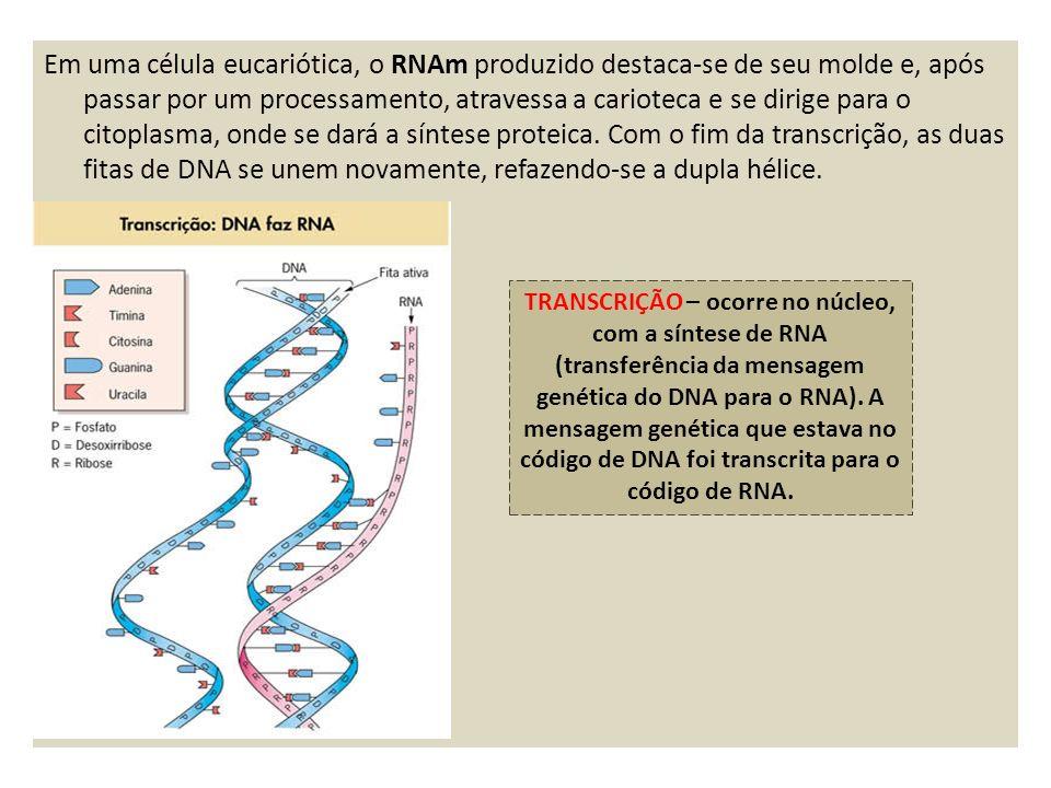 Em uma célula eucariótica, o RNAm produzido destaca-se de seu molde e, após passar por um processamento, atravessa a carioteca e se dirige para o citoplasma, onde se dará a síntese proteica.