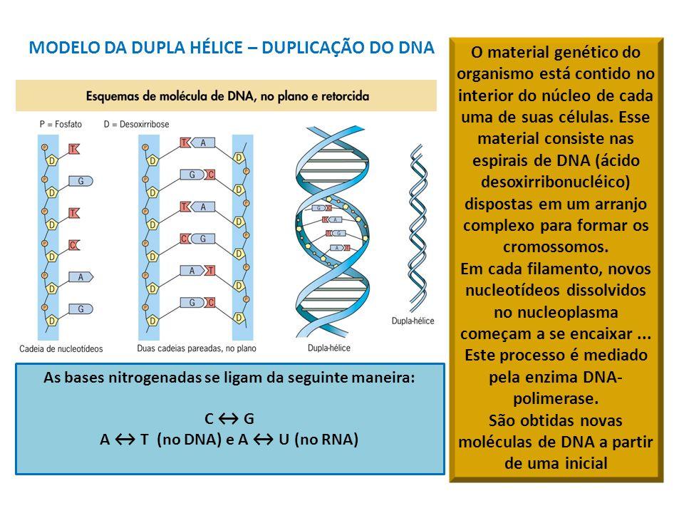MODELO DA DUPLA HÉLICE – DUPLICAÇÃO DO DNA As bases nitrogenadas se ligam da seguinte maneira: C G A T (no DNA) e A U (no RNA) O material genético do organismo está contido no interior do núcleo de cada uma de suas células.