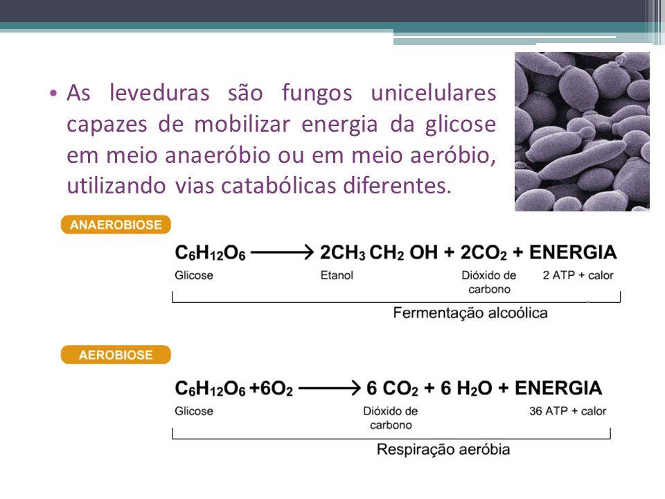 As leveduras são fungos unicelulares capazes de mobilizar energia da glicose em meio anaeróbio ou em meio aeróbio, utilizando vias catabólicas diferentes.