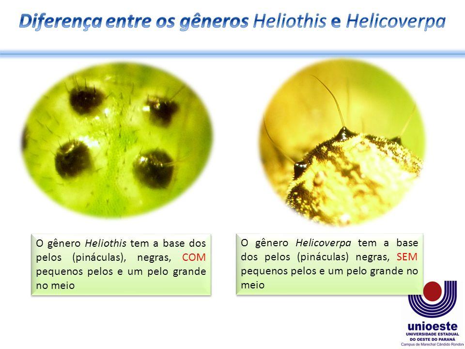 O gênero Heliothis tem a base dos pelos (pináculas), negras, COM pequenos pelos e um pelo grande no meio O gênero Helicoverpa tem a base dos pelos (pináculas) negras, SEM pequenos pelos e um pelo grande no meio