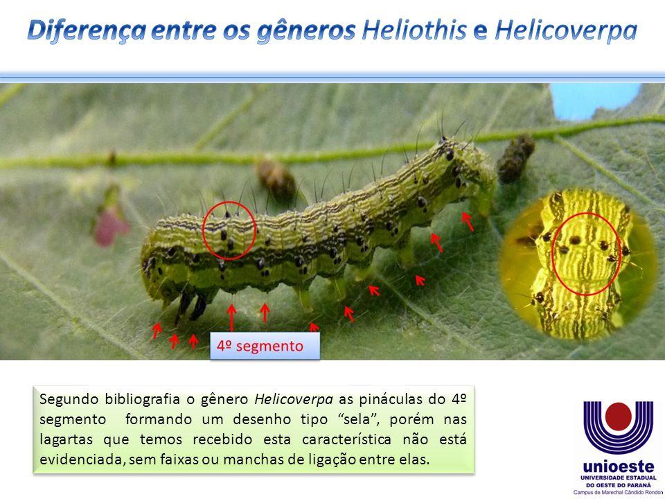 Segundo bibliografia o gênero Helicoverpa as pináculas do 4º segmento formando um desenho tipo sela, porém nas lagartas que temos recebido esta característica não está evidenciada, sem faixas ou manchas de ligação entre elas.