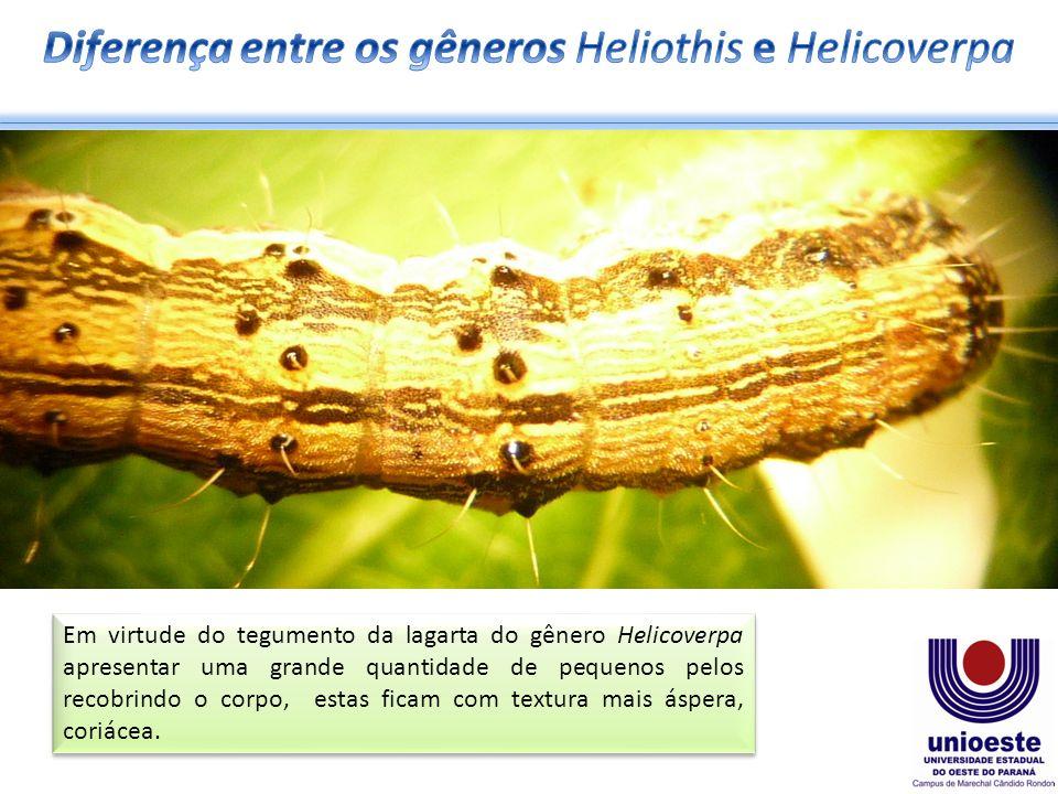 Em virtude do tegumento da lagarta do gênero Helicoverpa apresentar uma grande quantidade de pequenos pelos recobrindo o corpo, estas ficam com textura mais áspera, coriácea.