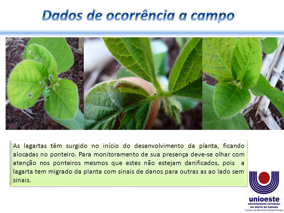 As lagartas têm surgido no início do desenvolvimento da planta, ficando alocadas no ponteiro. Para monitoramento de sua presença deve-se olhar com ate