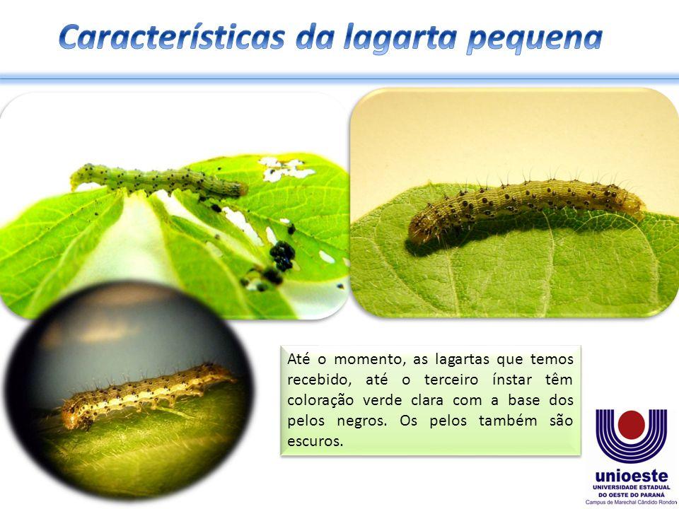 Até o momento, as lagartas que temos recebido, até o terceiro ínstar têm coloração verde clara com a base dos pelos negros. Os pelos também são escuro