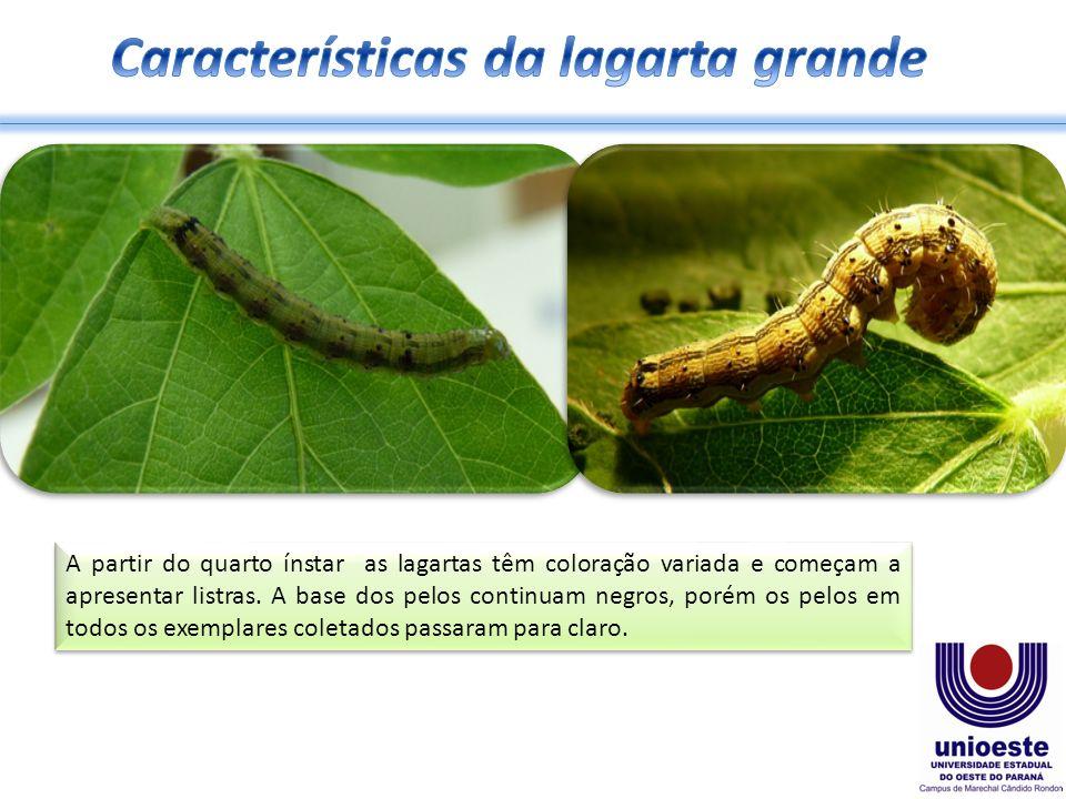 A partir do quarto ínstar as lagartas têm coloração variada e começam a apresentar listras.