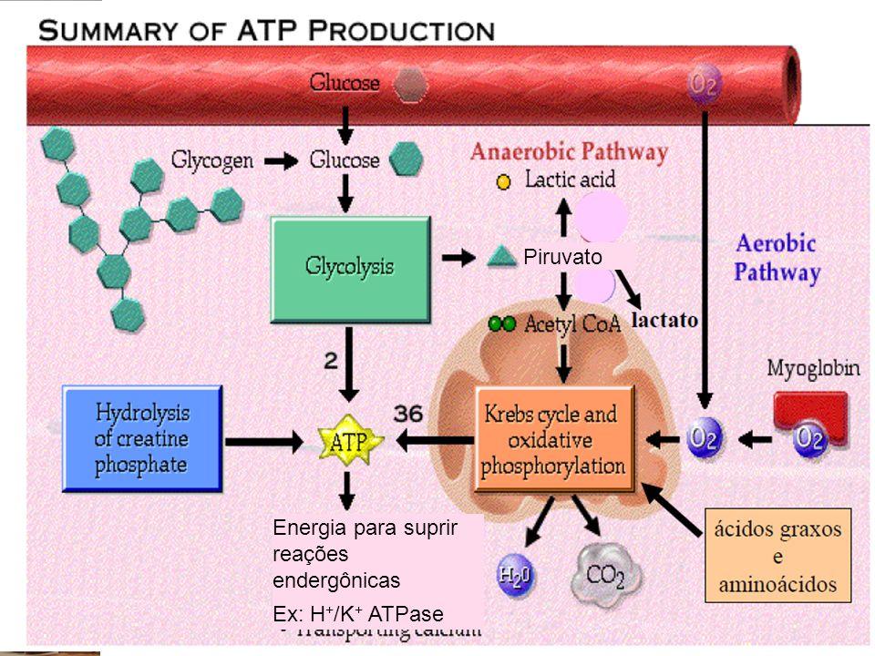 Campus Dom Pedrito Piruvato Energia para suprir reações endergônicas Ex: H + /K + ATPase