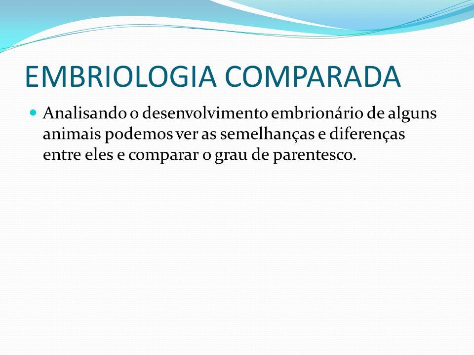 EMBRIOLOGIA COMPARADA Analisando o desenvolvimento embrionário de alguns animais podemos ver as semelhanças e diferenças entre eles e comparar o grau de parentesco.