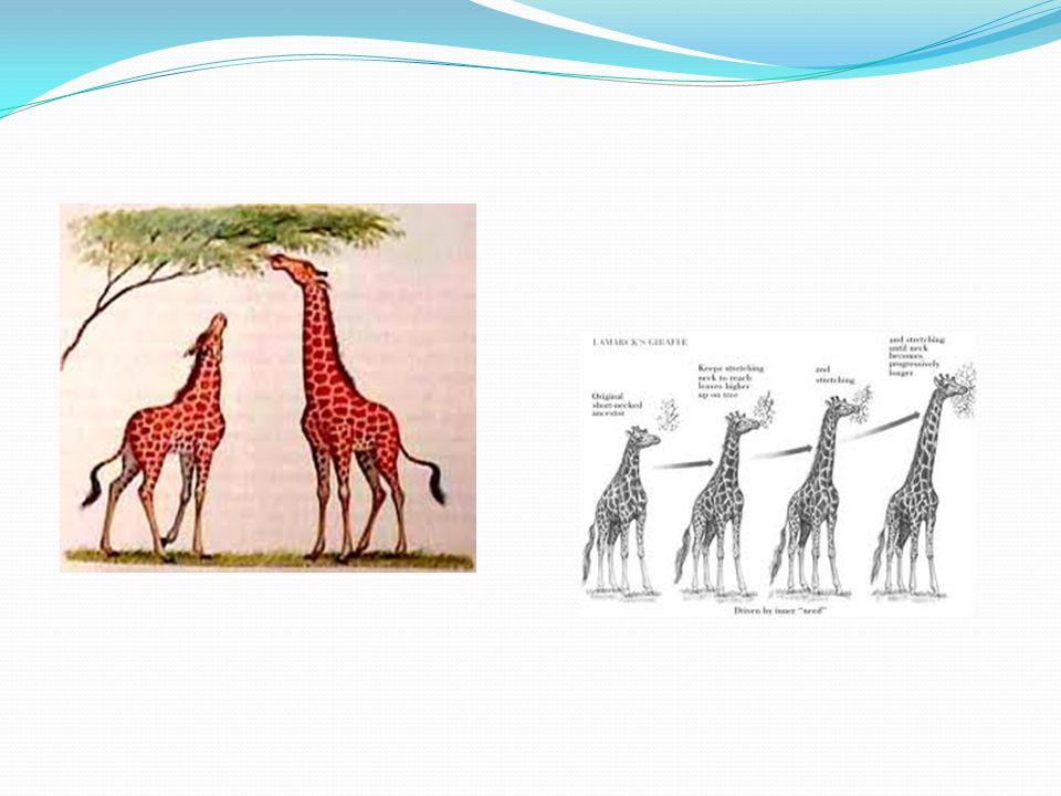 FATORES EVOLUTIVOS Mutação: base da evolução- uma mutação é a mudança em uma ou mais bases do DNA,gerando uma alteração na molécula e em todo o comando do DNA.