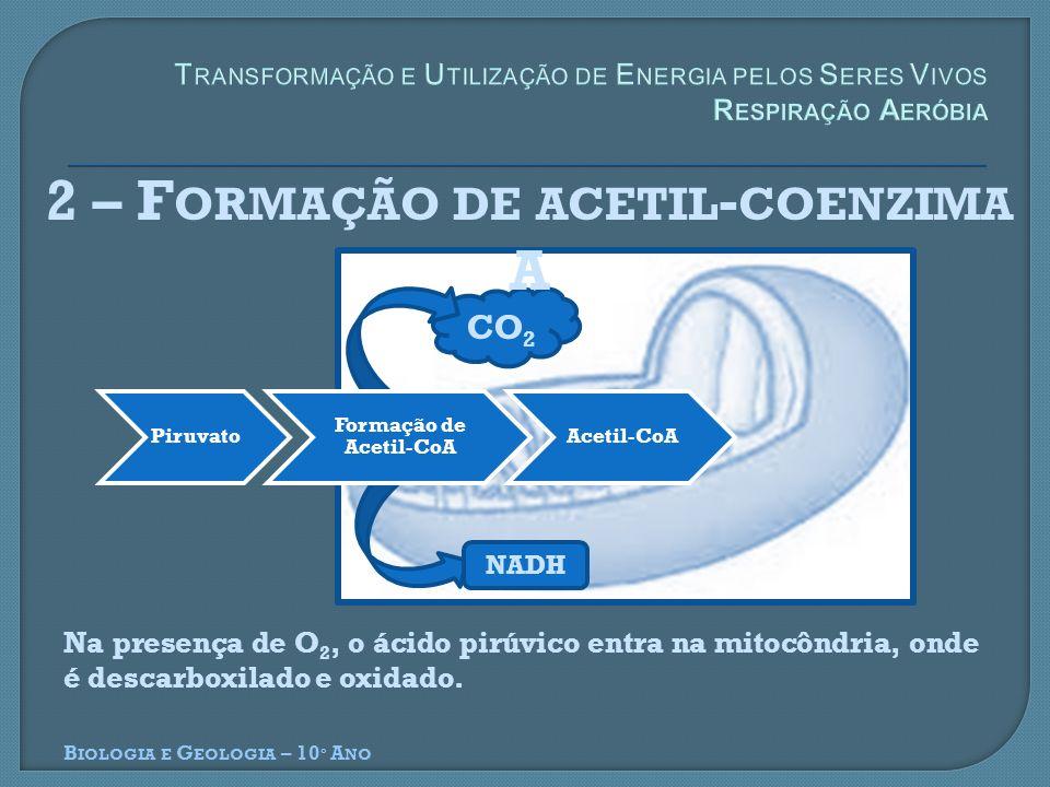 CO 2 2 – F ORMAÇÃO DE ACETIL - COENZIMA A B IOLOGIA E G EOLOGIA – 10 º A NO Piruvato Formação de Acetil-CoA Acetil-CoA NADH Na presença de O 2, o ácid