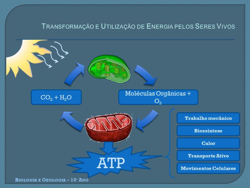 B IOLOGIA E G EOLOGIA – 10 º A NO Moléculas Orgânicas + O 2 CO 2 + H 2 O ATP Trabalho mecânico Biossíntese Calor Transporte Ativo Movimentos Celulares