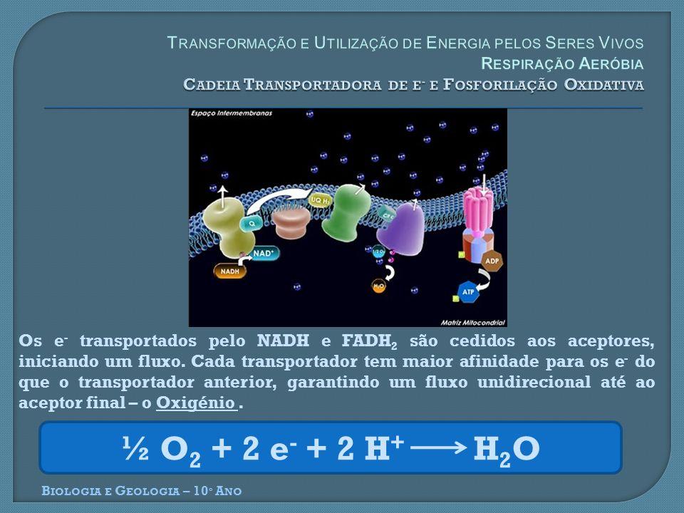 B IOLOGIA E G EOLOGIA – 10 º A NO Os e - transportados pelo NADH e FADH 2 são cedidos aos aceptores, iniciando um fluxo. Cada transportador tem maior