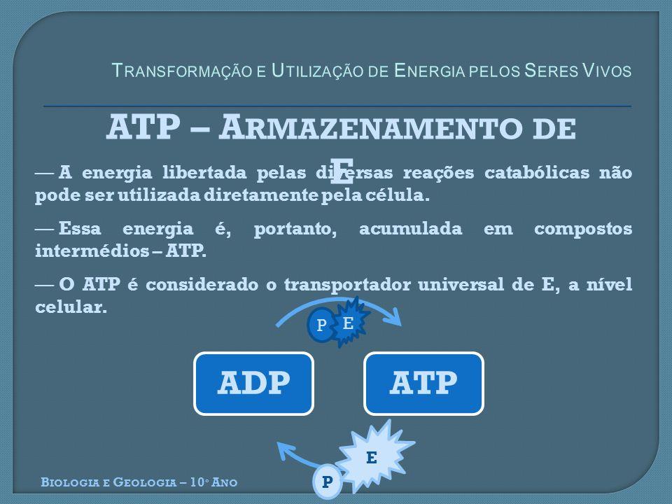 ADPATP P E B IOLOGIA E G EOLOGIA – 10 º A NO ATP – A RMAZENAMENTO DE E A energia libertada pelas diversas reações catabólicas não pode ser utilizada d